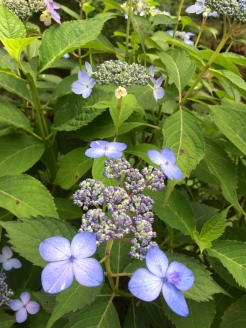 These pretty blue flowers are native to Jeju island, and found everywhere!